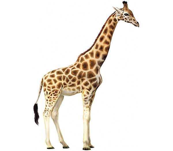 giraffe-facts-giraffe